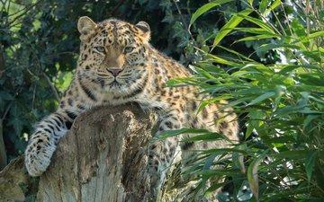 растения, леопард, хищник, большая кошка, амурский, william warby