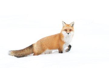 снег, зима, взгляд, лиса, лисица, хвост, jim cumming