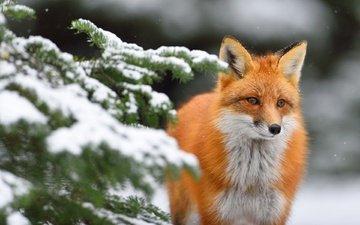 снег, хвоя, зима, ветки, взгляд, лиса, лисица