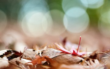 leaves, macro, autumn, bokeh, mirai.takahashi