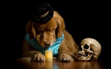 face, portrait, dog, black background, costume, skull, candle, hat, golden retriever, poor yorick, shakespeare