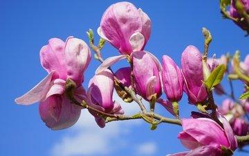 небо, цветы, цветение, бутоны, ветки, лепестки, весна, розовые, магнолия