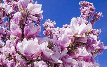 небо, цветы, дерево, цветение, бутоны, ветки, лепестки, весна, магнолия