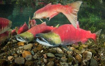 рыбы, подводный мир, лосось, нерка, oncorhynchus nerka