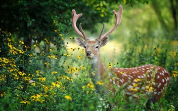 цветы, деревья, лес, олень, рога, volodymyr burdyak