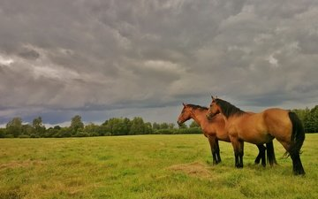 the sky, horse, grass, trees, nature, clouds, field, the bushes, summer, horses, overcast