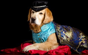 portrait, dog, fabric, black background, costume, cape, prince, hat, vest, golden retriever