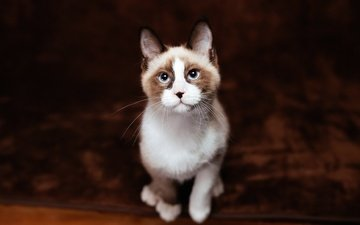 background, cat, look, kitty, sitting, face, blue eyes, carpet, ragdoll