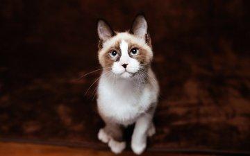 фон, кот, кошка, взгляд, котенок, сидит, мордашка, голубые глаза, ковер, рэгдолл