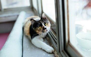 отражение, кошка, взгляд, комната, мордашка, окно, стекло, лапа, подоконник, трехцветная, желтые глаза