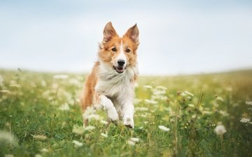 flowers, grass, dog, running, the border collie