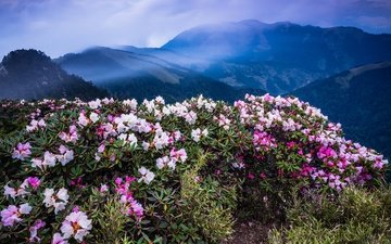 the sky, flowers, clouds, mountains, hills, nature, flowering, leaves, landscape, fog, the bushes, tops, blue, rhododendrons