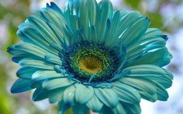 цветок, лепестки, экзотика, гербера