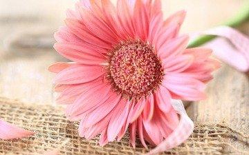 цветок, лепестки, гербера