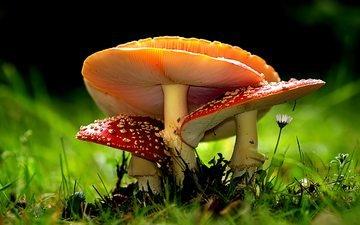природа, макро, грибы, боке, мухоморы