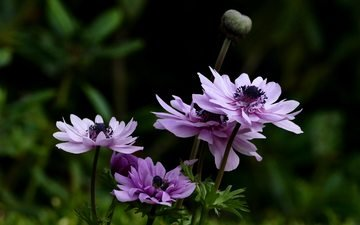 flowers, leaves, summer, anemone