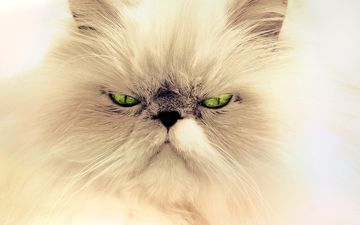eyes, background, mustache, cat, look, persian cat