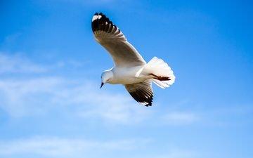 полет, крылья, чайка, птица
