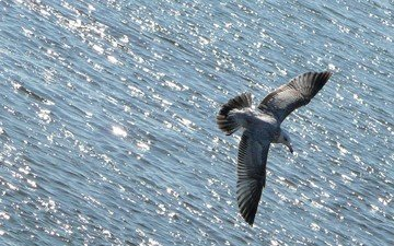 water, flight, seagull, the ocean, bird, animal