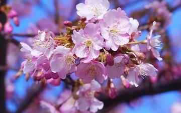 небо, цветы, дерево, цветение, весна, вишня, крупным планом