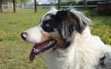 dog, blue eyes, language, australian shepherd