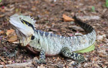 ящерица, австралия, рептилия, игуана