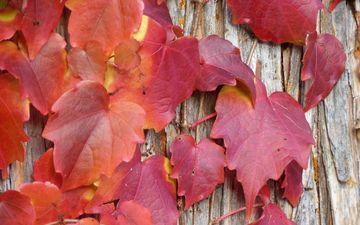 природа, листья, осень, растение, крупный план, лоза, лиана