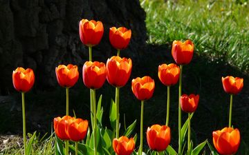 flowers, grass, red, spring, tulips