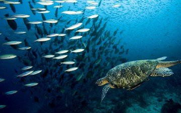 turtle, fish, underwater world, coral reef