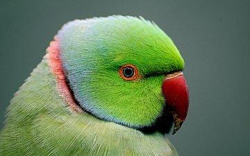 bird, beak, parrot, closeup, indian ringed parrot