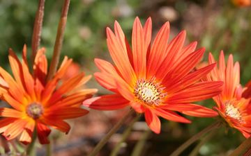 flowers, nature, leaves, petals, garden, orange, gerbera