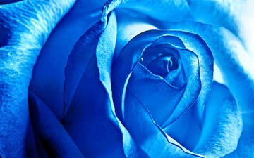 flower, rose, petals, blue rose, closeup