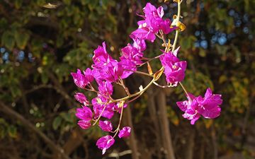 flowers, branch, nature, garden, plant, shrub, bougainvillea