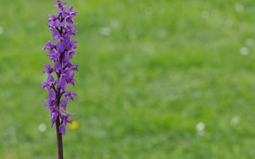 grass, nature, flower, purple, plant, macro, stem