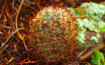 природа, цветок, колючки, растение, макросъемка, кактус