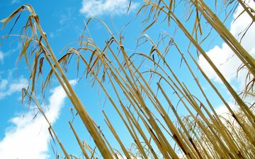 the sky, grass, field, corn, stems, plant