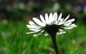макро, цветок, лепестки, ромашка, размытость, белая