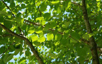 небо, природа, дерево, листья, ветви, лист