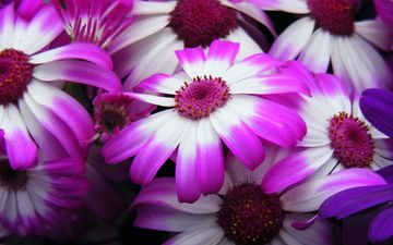 цветы, лепестки, цинерария