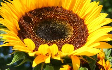 yellow, flower, petals, sunflower, closeup