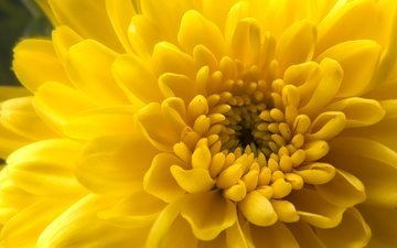 flower, petals, chrysanthemum, closeup