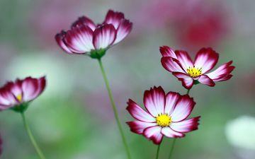 цветы, лепестки, стебли, боке, космея