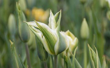 цветы, весна, тюльпаны, н