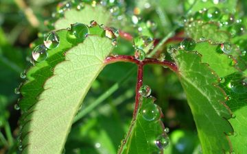 nature, leaves, rosa, drops, plant