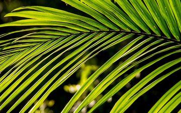 природа, листья, зеленые, пальма