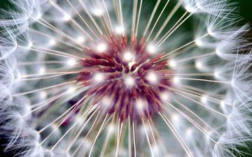 цветок, одуванчик, семена, макросъемка, пушинки, крупным планом, былинки