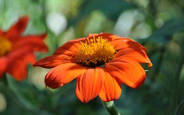 цветы, природа, макро, лепестки, титония