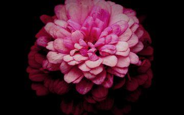 макро, цветок, лепестки, розовый, хризантема, маргаритка