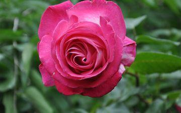 цветок, роза, лепестки, сад, бутон, розовый