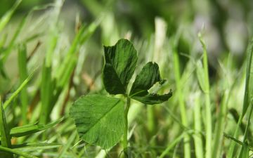 трава, зелень, растения, клевер, лист, луг, макросъемка